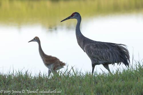 Sandhill Crane Mom and Juvie