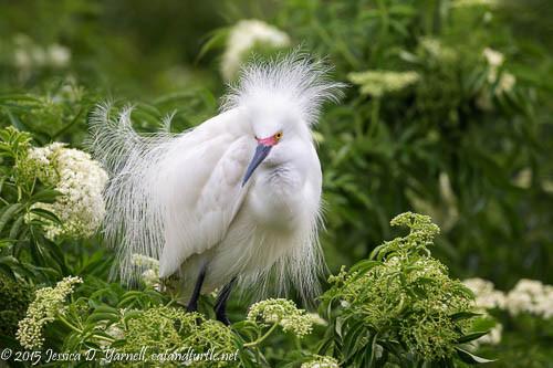Showy Snowy Egret