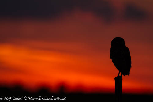 Sunset Silhouette of a Burrowing Owl