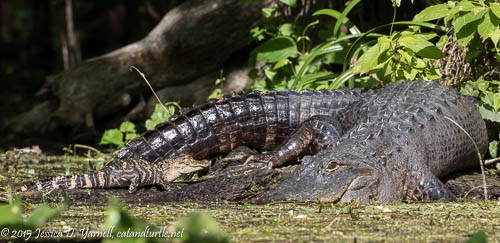 Alligator and Baby