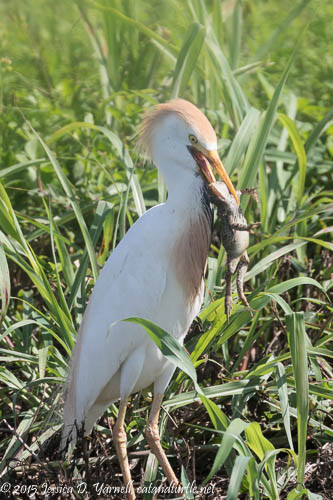 Cattle Egret with Frog