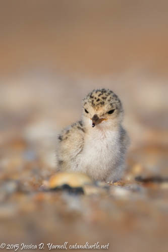 Cute Two-Day-Old Least Tern