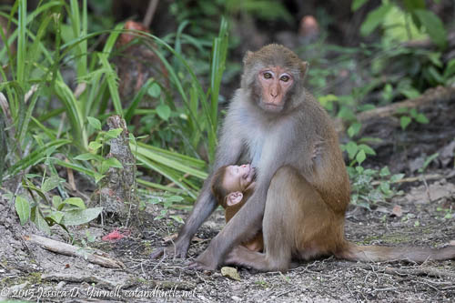Mom and Baby Rhesus Monkey