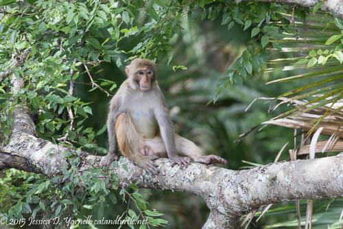 Rhesus Monkey at Silver Springs