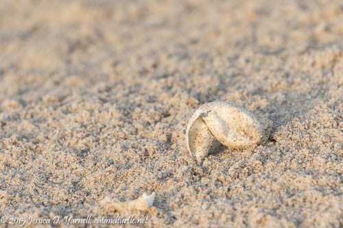 Turtle Egg Shell