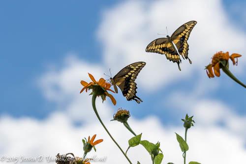 Giant Swallowtail Butterflies