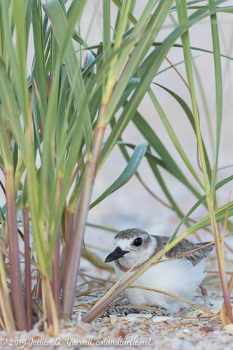Wilson's Plover on Nest