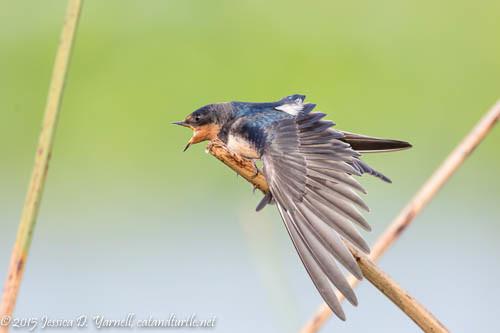 Barn Swallow Stretch