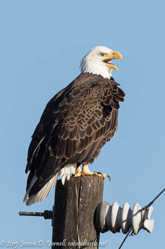Bald Eagle at Lake Apopka Wildlife Drive