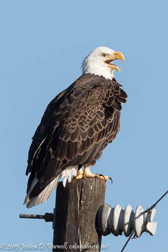 Bald Eagle at Lake Apopka Wildlife Drive