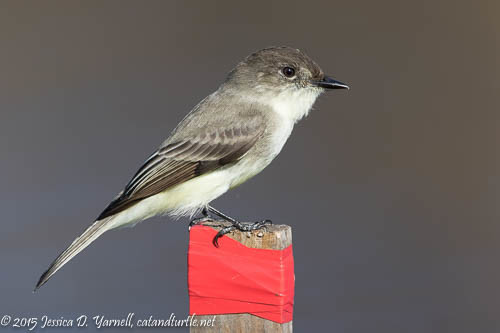Eastern Phoebe at Lake Apopka Wildlife Drive