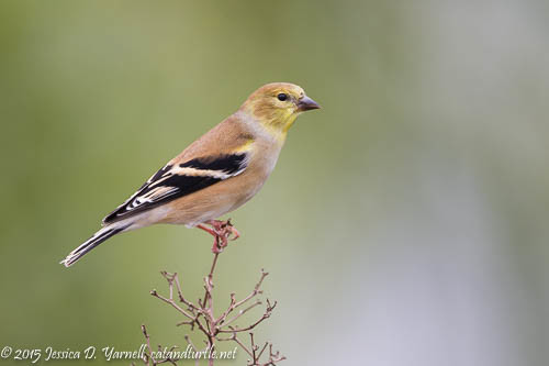First of Fall American Goldfinch