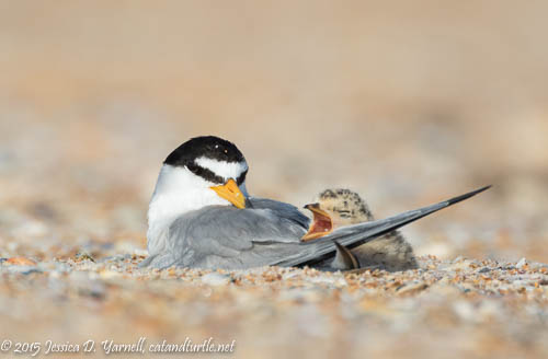 Least Tern Mother and Baby