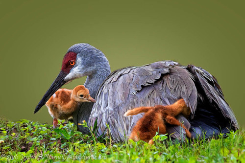 Hide and Seek!  (Sandhill Crane with Young)