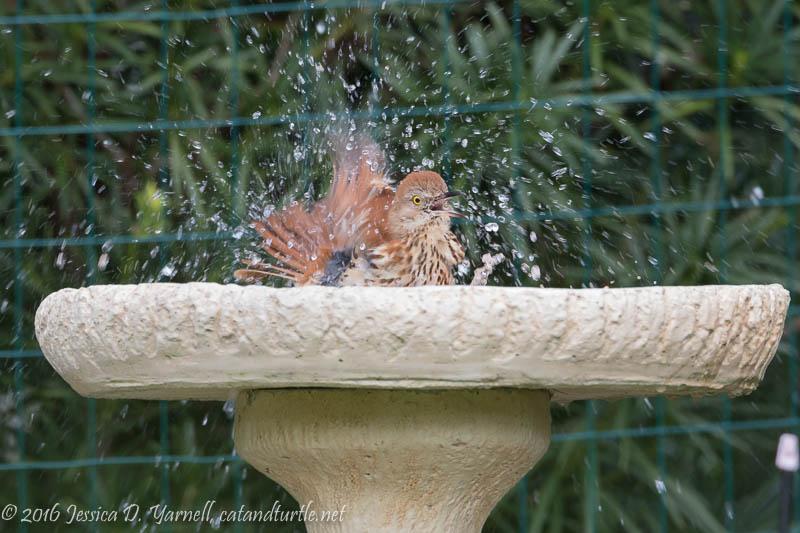 Brown Thrasher in the Bird Bath