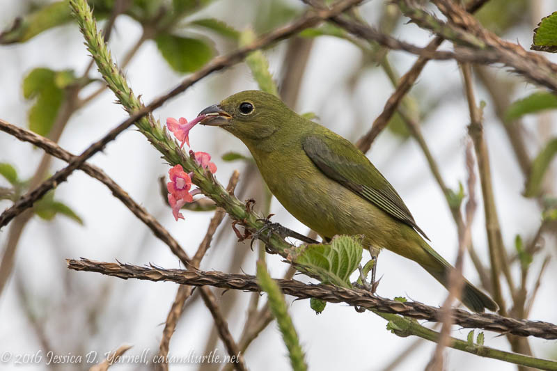 "Female Painted Bunting (""Greenie"")"
