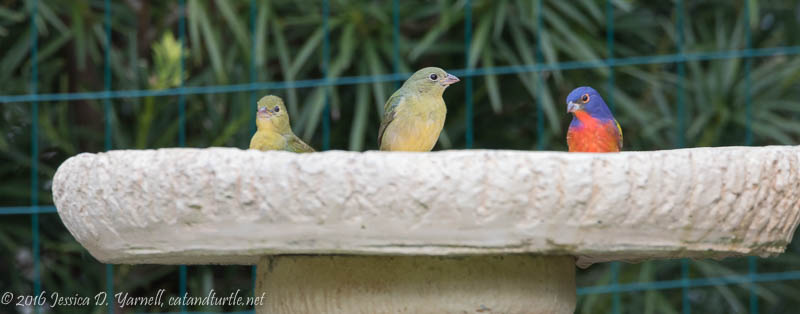 Painted Buntings in the Bird Bath