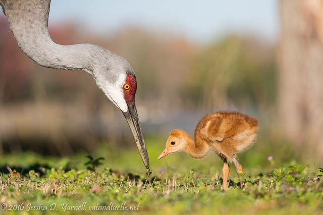 Breakfast Time! Adult Crane Feeds Baby Uno