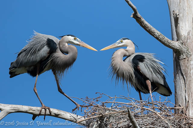 Great Blue Herons