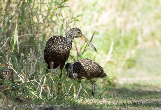 Mom and Juvie Limpkin