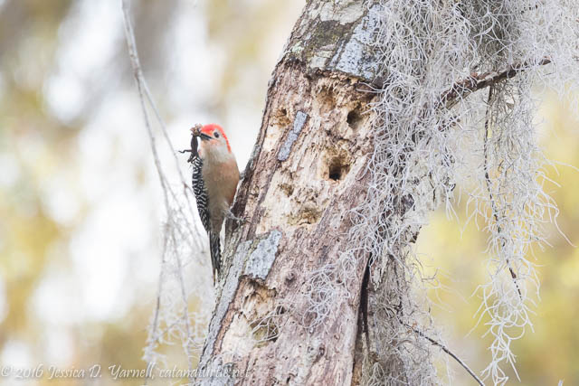 Red-bellied Woodpecker with Lizard