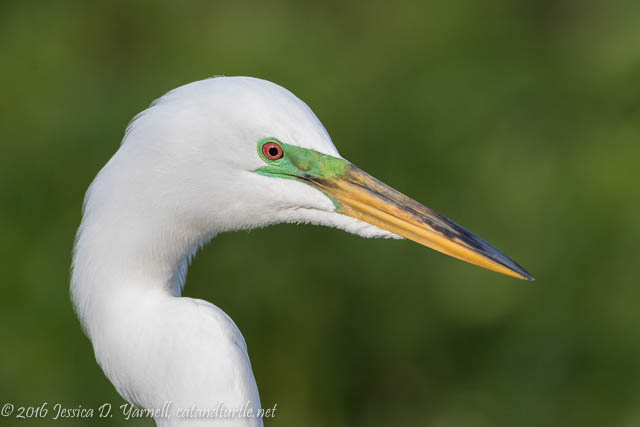 Great Egret Breeding Color Head Shot