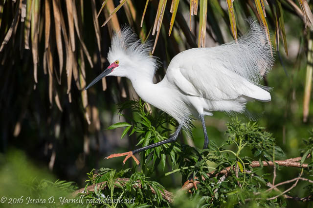 Snowy Egret Strut