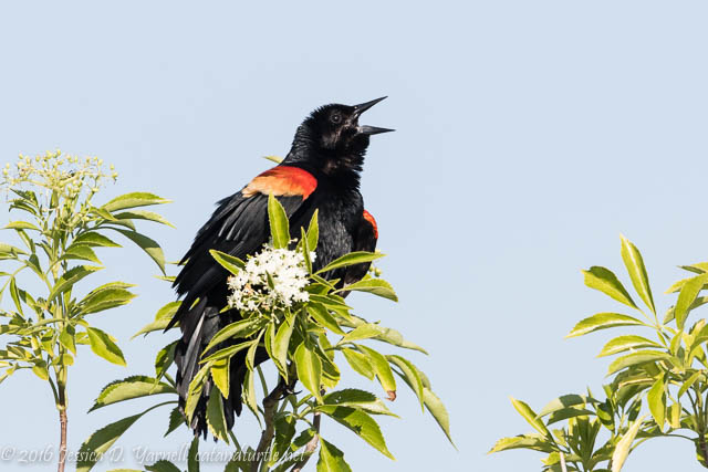 Red-winged Blackbird Singing