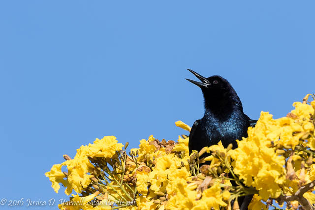 Singing Boat-tailed Grackle