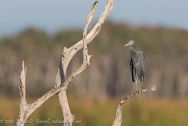Little Blue Heron at Orlando Wetlands