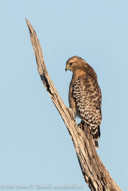 Red-shouldered Hawk at Orlando Wetlands