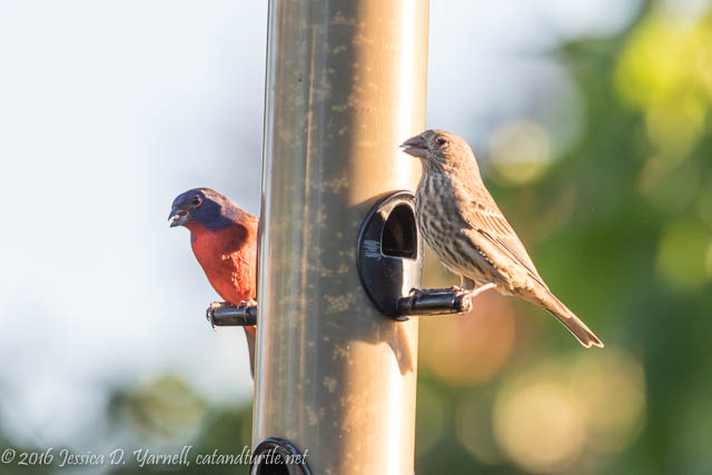 Friends at the Feeder (Male Painted Bunting and Female House Finch)