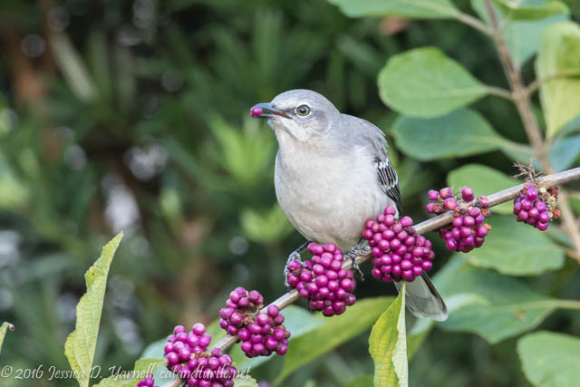 Northern Mockingbird on American Beautyberry