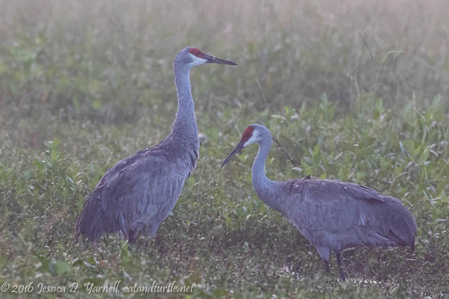 Sandhill Cranes in the Fog