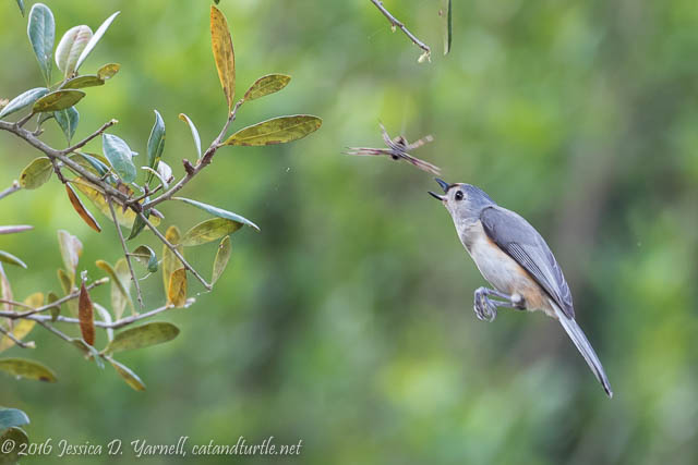 Tufted Titmouse Diving for a Spider