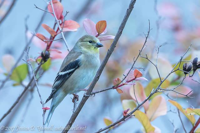 American Goldfinch Portrait