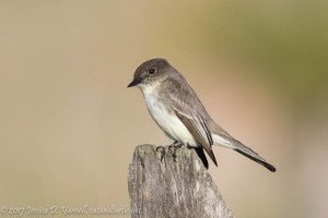 Eastern Phoebe at Viera Wetlands