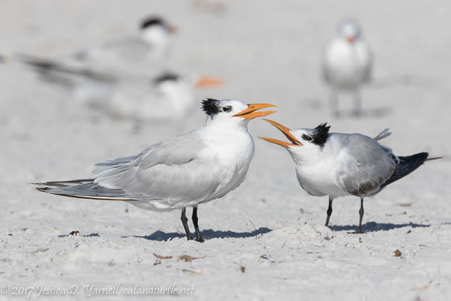 Royal Tern Mom and Juvenile