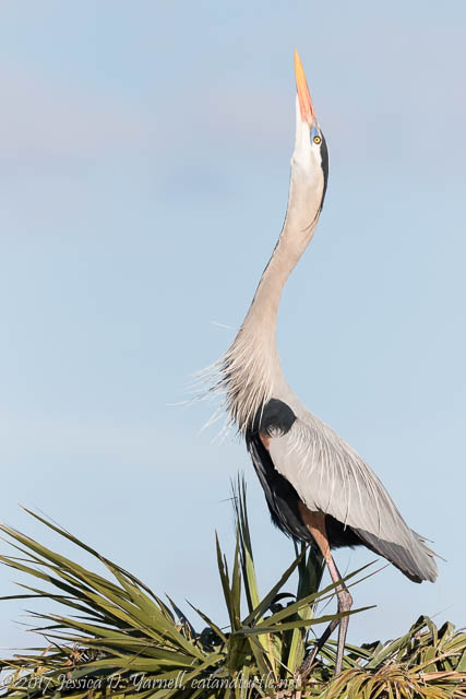 Great Blue Heron Courtship at Viera Wetlands