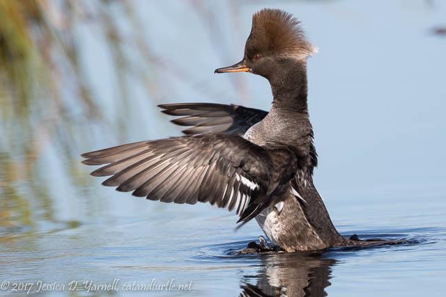 Hooded Merganser Wing Flap at Viera Wetlands