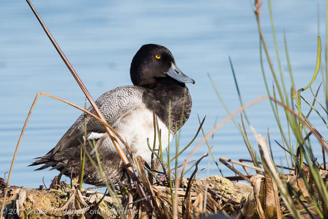 Lesser Scaup at Viera Wetlands
