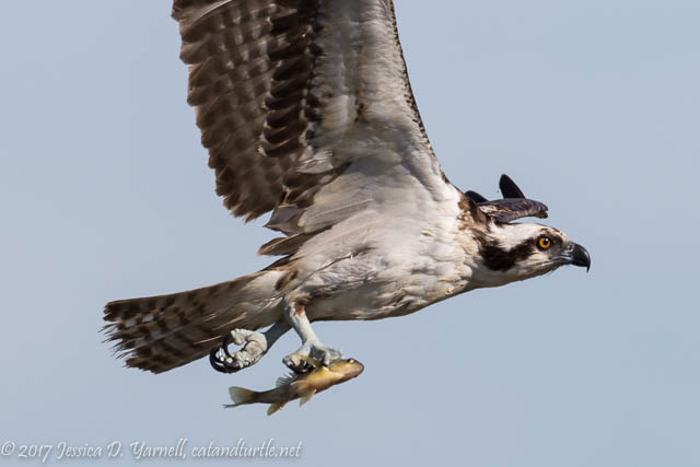 Osprey with Fish! at Viera Wetlands