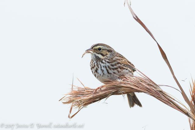 Cooperative Savannah Sparrow at Circle B