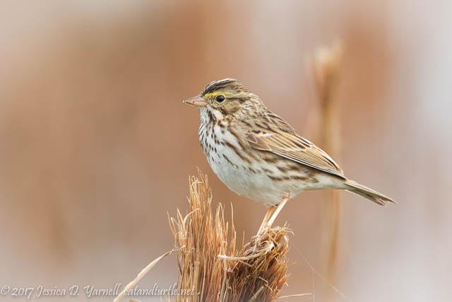 Savannah Sparrow at Circle B