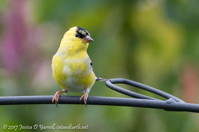 American Goldfinch - Turning Yellow!