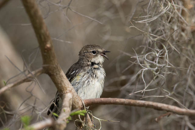 Yellow-rumped Warbler with Broken Beak