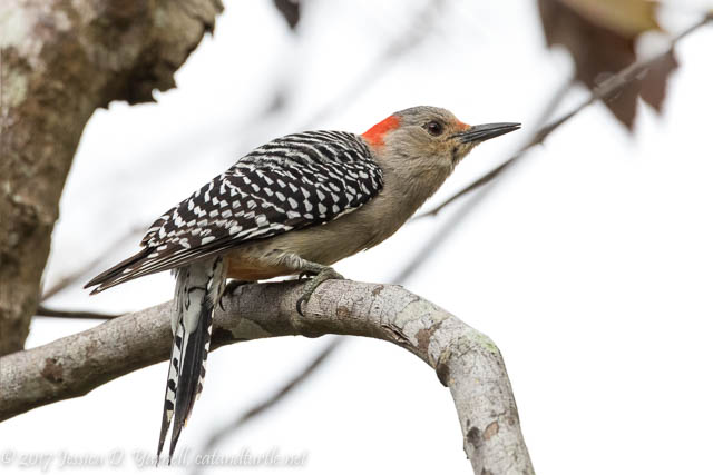 Red-bellied Woodpecker at Oakland Nature Preserve