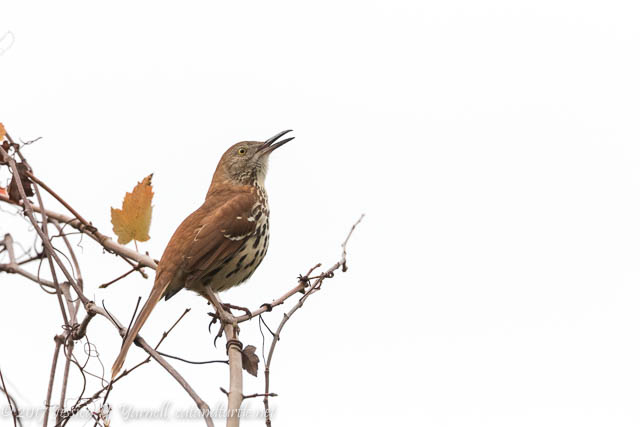 Singing Brown Thrasher at Oakland Nature Preserve