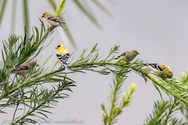 American Goldfinch Party