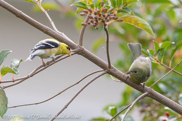 Goldfinch Squabble with Bunting
